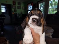Basset Hound Puppies for sale in Russellville, KY 42276, USA. price: NA