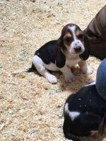 Basset Hound Puppies for sale in San Diego, CA, USA. price: NA