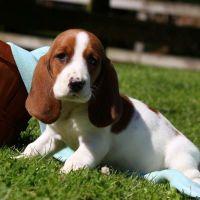 Basset Hound Puppies for sale in Georgia Dome Dr, Atlanta, GA 30313, USA. price: NA