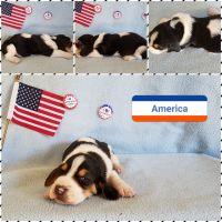 Basset Hound Puppies for sale in Bryan, TX 77803, USA. price: NA