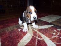 Basset Hound Puppies for sale in Detroit, MI, USA. price: NA