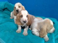Basset Hound Puppies for sale in Allen St, New York, NY 10002, USA. price: NA