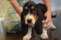 Basset Hound Puppies for sale in Sacramento, CA, USA. price: NA
