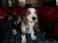 Basset Hound Puppies for sale in New Castle, PA, USA. price: NA