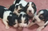Basset Hound Puppies for sale in Erie, PA, USA. price: NA