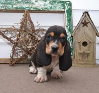 Basset Hound Puppies for sale in Texas Ave, Houston, TX, USA. price: NA