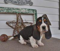 Basset Hound Puppies for sale in Nevada St, Newark, NJ 07102, USA. price: NA