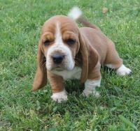 Basset Hound Puppies for sale in New York, NY, USA. price: NA