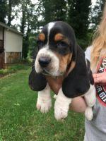 Basset Hound Puppies for sale in Chattahoochee Hills, GA 30268, USA. price: NA