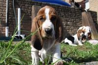 Basset Hound Puppies for sale in Chattanooga, TN 37401, USA. price: NA