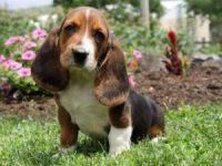 Basset Hound Puppies for sale in Virginia Beach, VA, USA. price: NA
