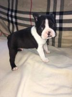 Basset Hound Puppies for sale in Florence St, Denver, CO, USA. price: NA