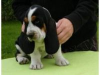 Basset Hound Puppies for sale in CA-111, Rancho Mirage, CA 92270, USA. price: NA