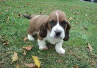 Basset Hound Puppies for sale in Nashville, TN 37246, USA. price: NA