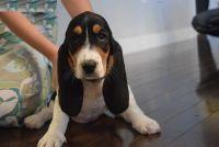 Basset Hound Puppies for sale in Newark, NJ, USA. price: NA