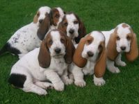 Basset Hound Puppies for sale in Indianapolis International Airport, Indianapolis, IN 46241, USA. price: NA