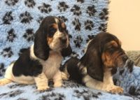 Basset Hound Puppies for sale in Orlando, FL, USA. price: NA