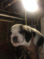 Basset Hound Puppies for sale in Stratford, CT, USA. price: NA