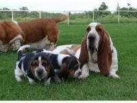 Basset Hound Puppies for sale in Houston, TX, USA. price: NA