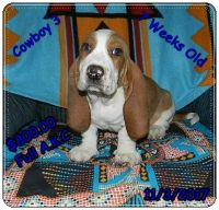 Basset Hound Puppies for sale in Wilkesboro, NC 28697, USA. price: NA