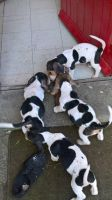 Basset Hound Puppies for sale in Dublin, OH, USA. price: NA