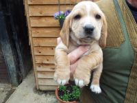 Basset Hound Puppies for sale in Beverly Hills, CA, USA. price: NA