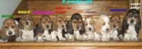 Basset Hound Puppies for sale in Los Angeles, CA 90009, USA. price: NA