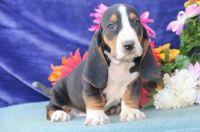 Basset Hound Puppies for sale in Mackville Harrodsburg Rd, Mackville, KY 40040, USA. price: NA