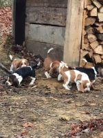 Basset Hound Puppies for sale in Clarkson, KY, USA. price: NA