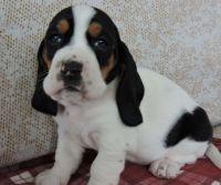 Basset Hound Puppies for sale in San Antonio, TX, USA. price: NA