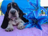 Basset Hound Puppies for sale in Alaska St, Staten Island, NY 10310, USA. price: NA