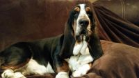 Basset Hound Puppies for sale in Pilot Rock, OR, USA. price: NA