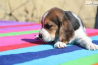 Basset Hound Puppies for sale in Sherard, MS 38669, USA. price: NA