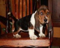 Basset Hound Puppies for sale in Richmond, VA, USA. price: NA