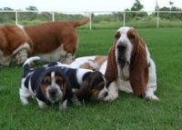 Basset Hound Puppies for sale in Cheyenne, WY, USA. price: NA