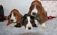 Basset Hound Puppies for sale in Miami, FL, USA. price: NA