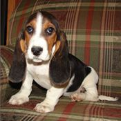 Basset Hound Puppies for sale in Cincinnati, OH, USA. price: NA