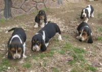 Basset Hound Puppies for sale in Burlington, VT, USA. price: NA