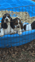 Basset Hound Puppies for sale in Cleveland, TX, USA. price: NA
