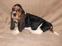 Basset Hound Puppies for sale in Panama City, FL, USA. price: NA
