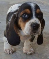 Basset Hound Puppies for sale in Eugene, OR, USA. price: NA