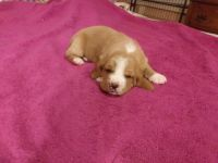 Basset Hound Puppies for sale in Terre Haute, IN, USA. price: NA