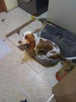 Basset Hound Puppies for sale in Kalamazoo Twp, MI, USA. price: NA
