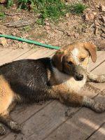 Basset Hound Puppies for sale in Harriman, TN 37748, USA. price: NA