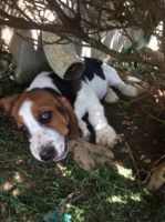 Basset Hound Puppies for sale in Lancaster, KY 40444, USA. price: NA