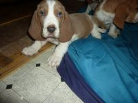 Basset Hound Puppies for sale in Tallahassee, FL, USA. price: NA