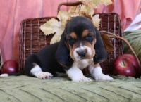 Basset Hound Puppies for sale in Columbus, OH 43215, USA. price: NA