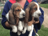Basset Hound Puppies for sale in Michigan Ave, Inkster, MI 48141, USA. price: NA