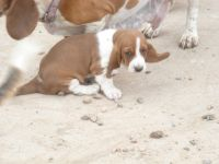 Basset Hound Puppies for sale in Pueblo West, CO, USA. price: NA