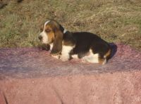 Basset Hound Puppies for sale in SC-9, Chester, SC, USA. price: NA